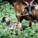 anak kambing tok abah