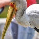 bp_stork