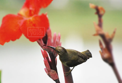 hummingbird and red canna