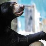 zoo_sunbear