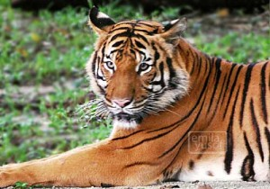 zoo_tiger