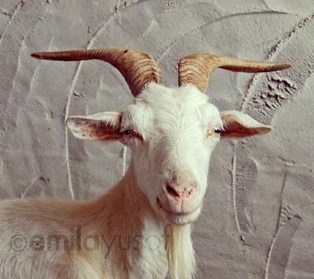 Swiss-goat